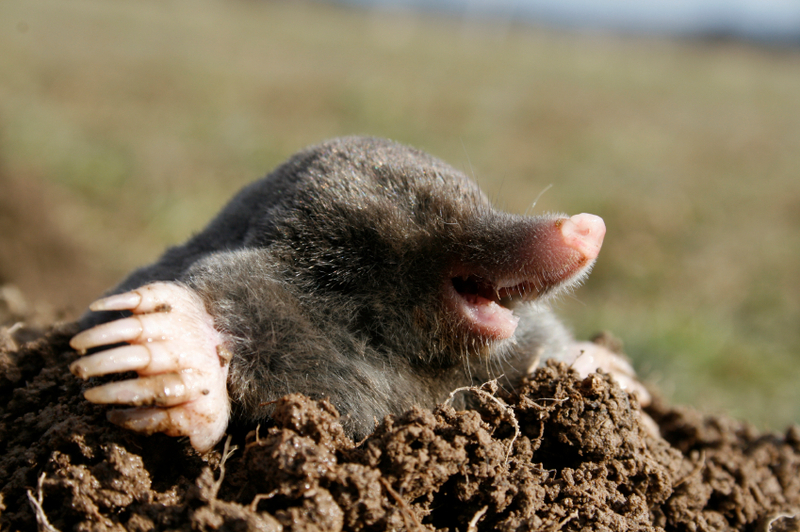 Moles Landlords or Tenants responsibility