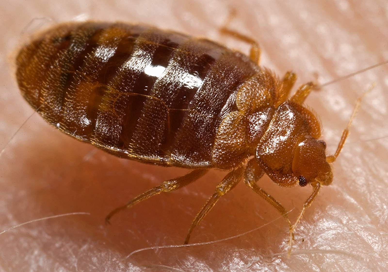 Bedbugs!