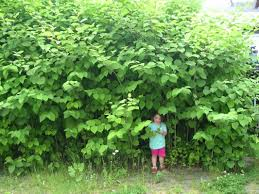 Japanese Knotweed found in survey?