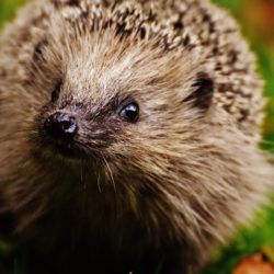 Protecting Hedgehogs a priority?
