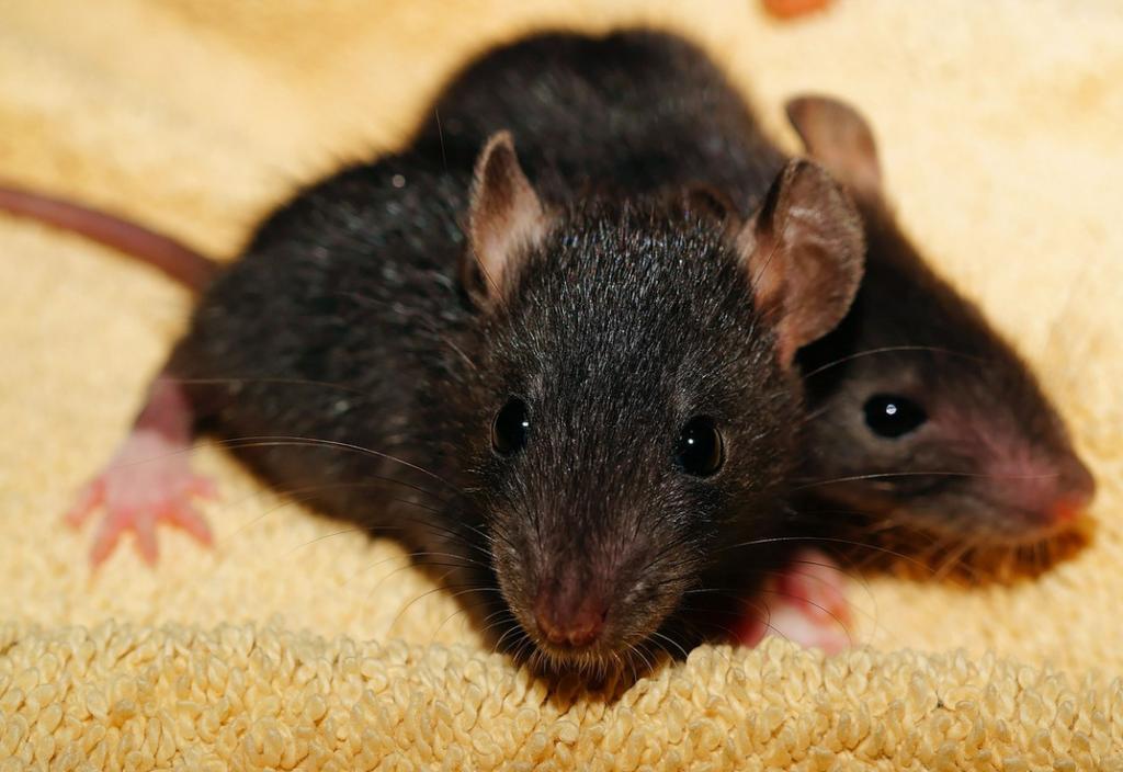 Rat Infestation – Tough?