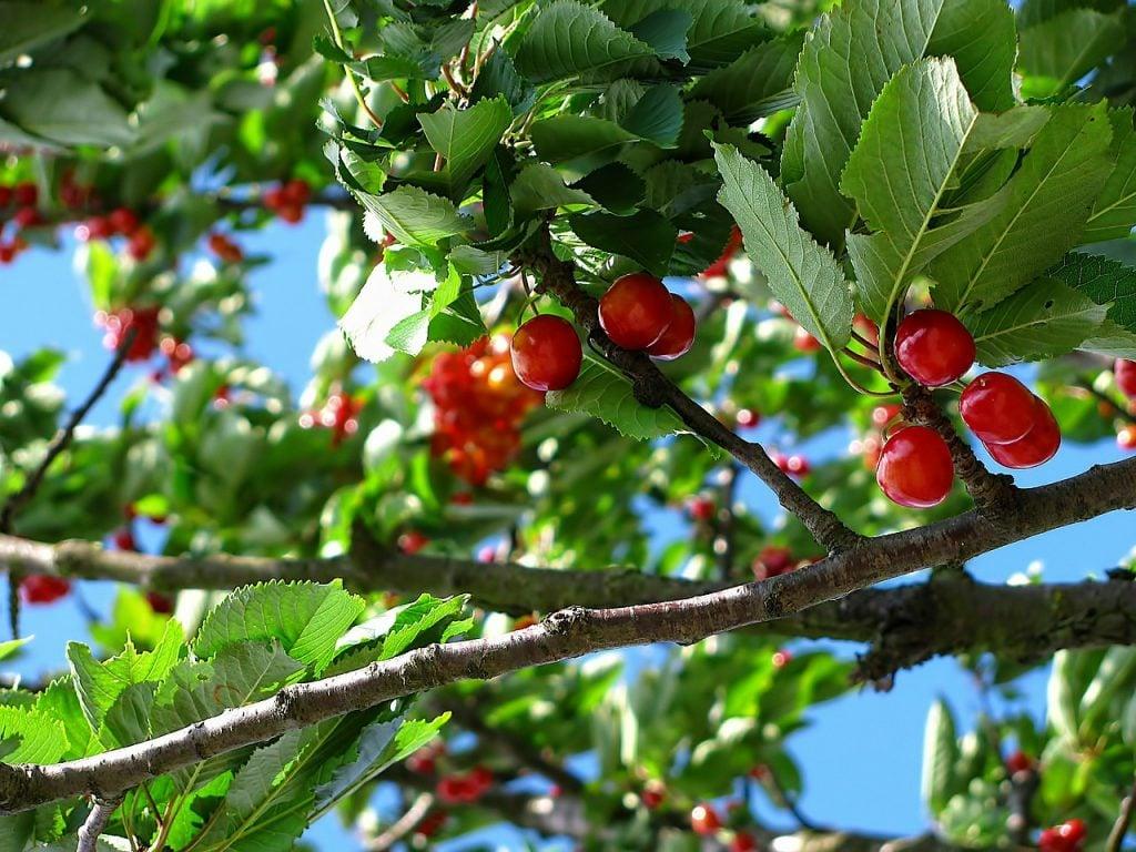 Nuisance cherry tree?
